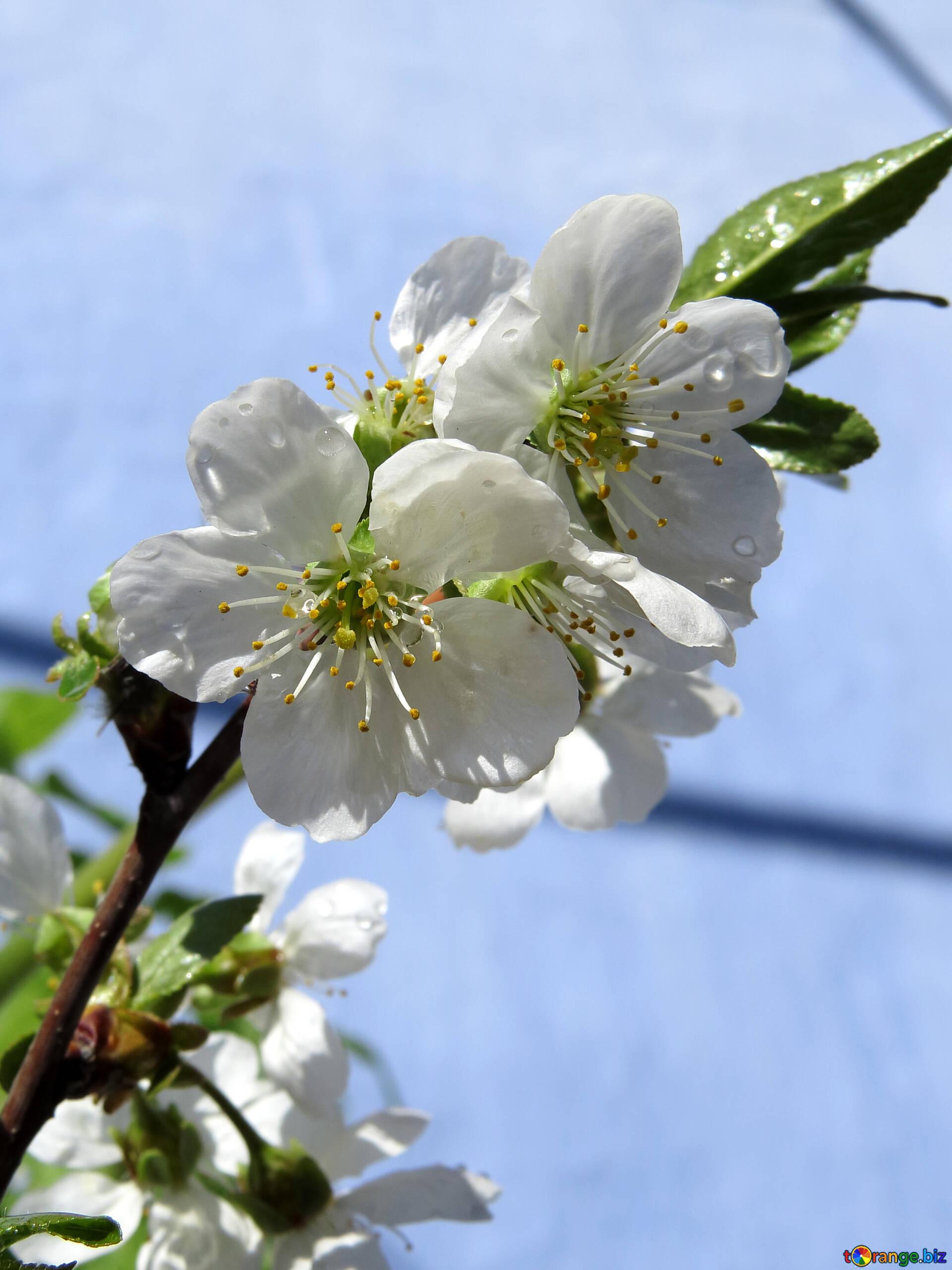 Albero Con Fiori Bianchi primi fiori primaverili fiori degli alberi da frutto