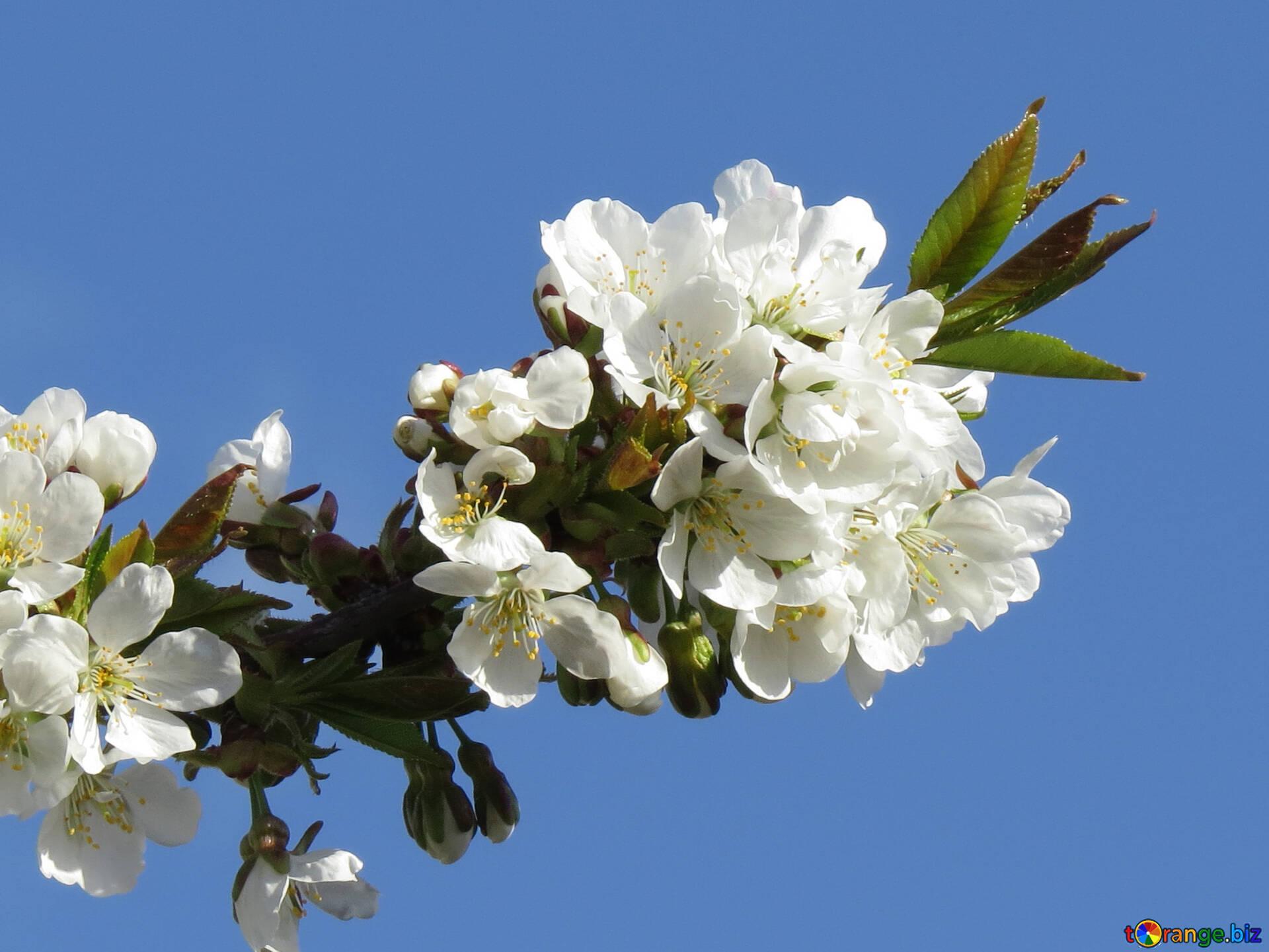 Frühlingsblumen Isoliert Frühling Hintergrund Auf Desktop Frucht 24424