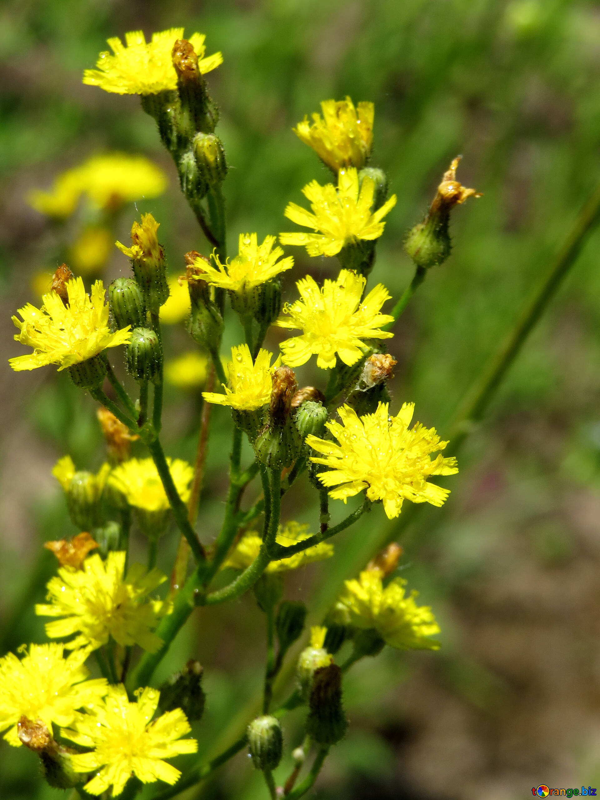 Wildflowers Small Yellow Flowers Grass 24931