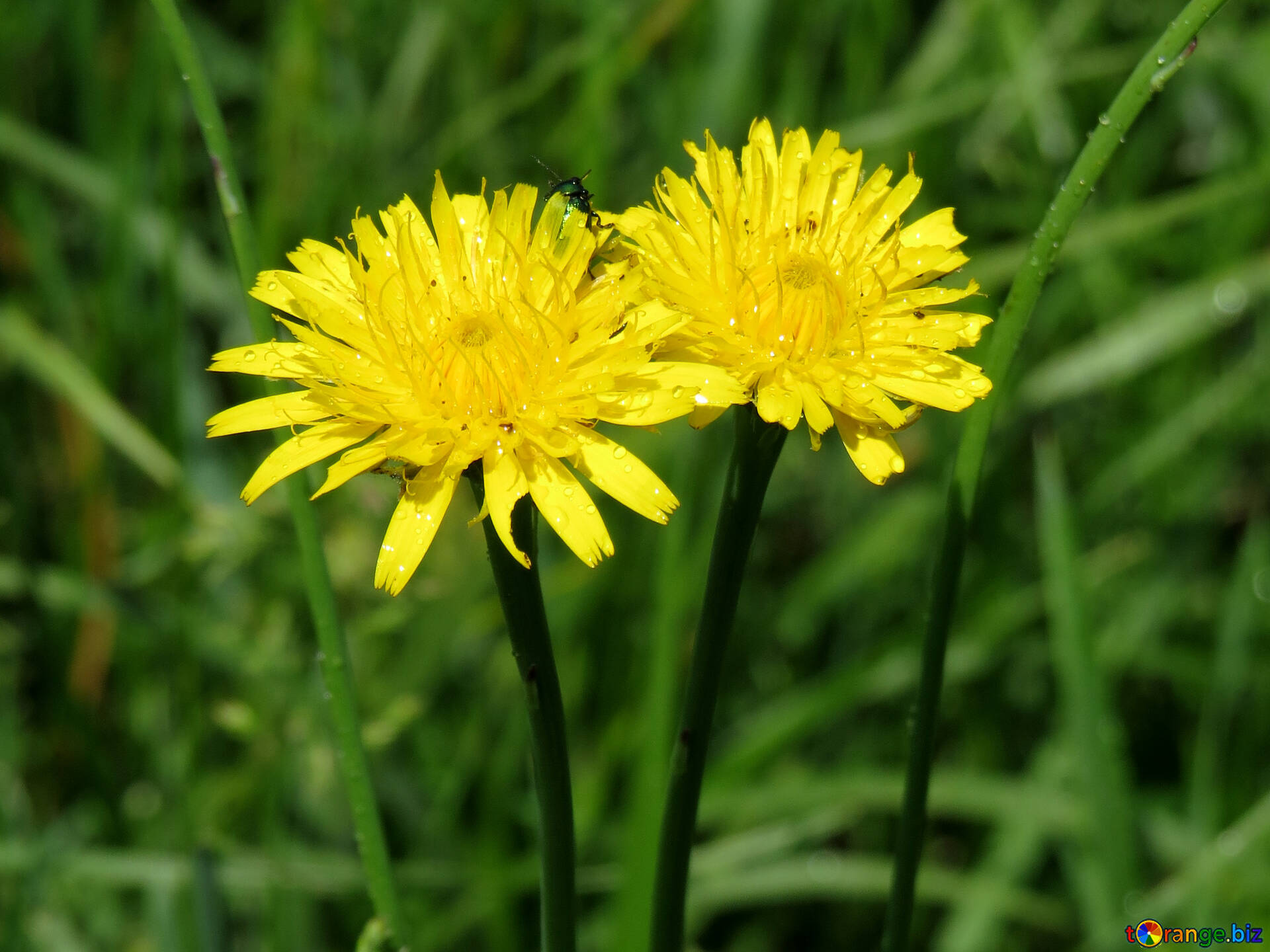 Yellow Dandelion Flowers Yellow Flowers In The Grass Summer 24920