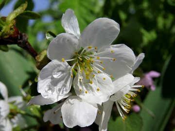 Big cherry blossom №24072