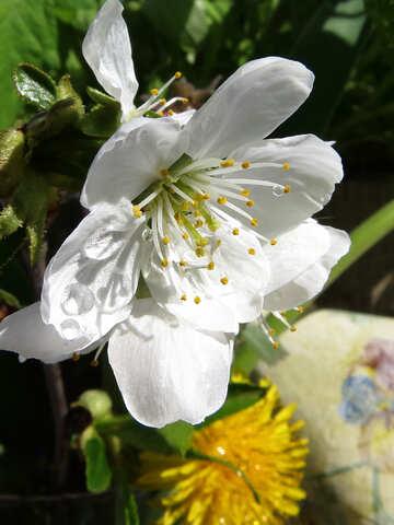Cherry blossom №24080