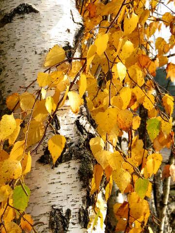 Birch tree №24829
