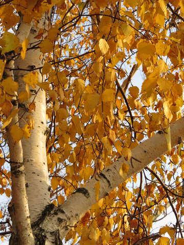 Autumn birch №24826