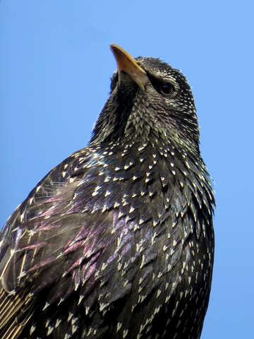 Starling №24380