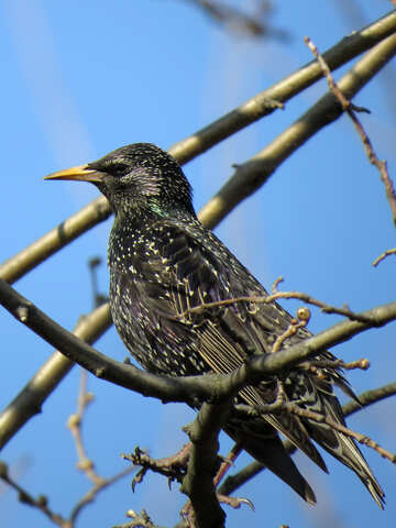Starling №24387