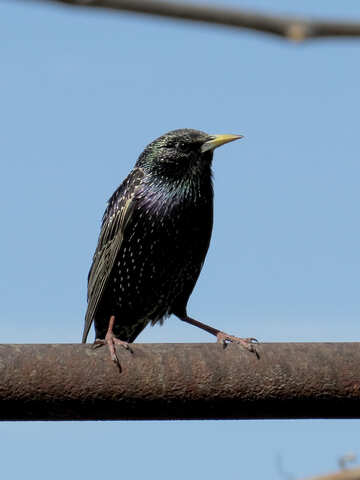 Starling walks №24003