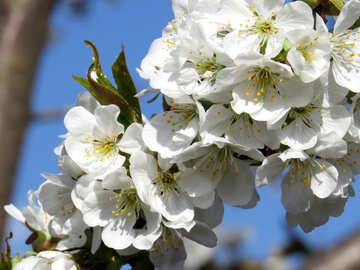 Flowering branch №24494