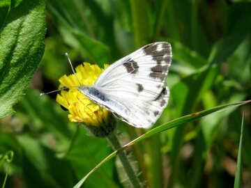 Butterfly white butterfly №24650