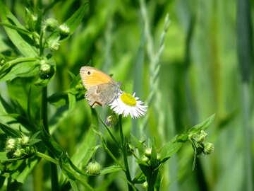 Schmetterling auf Kamille №24987