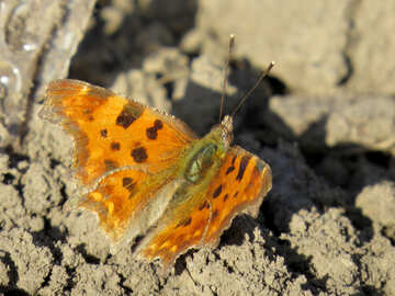 Orange butterfly with black spots №24370