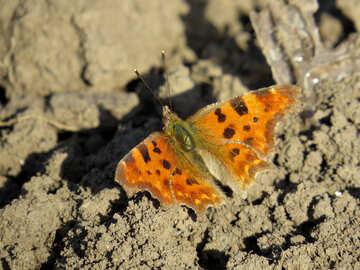 Orange butterfly with dark spots №24369