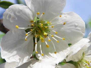 Cherry blossom №24042