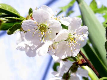 Cherry blossoms №24047