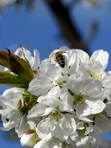 Bee and cherry blossoms №24471