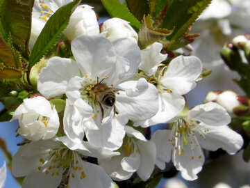 Bee in cherry blossoms №24487