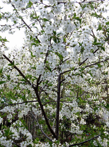 Вишневый сад  №24133