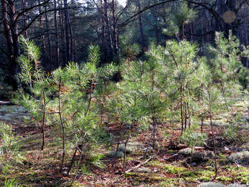 Young pines №24844