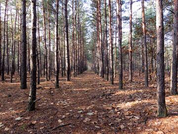 Coniferous forest mushroom №24860