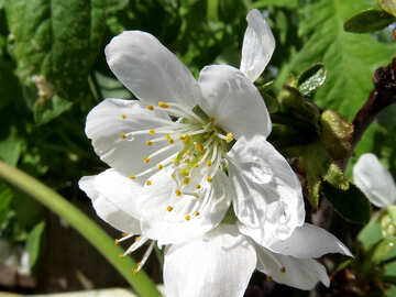Delicato fiore №24081