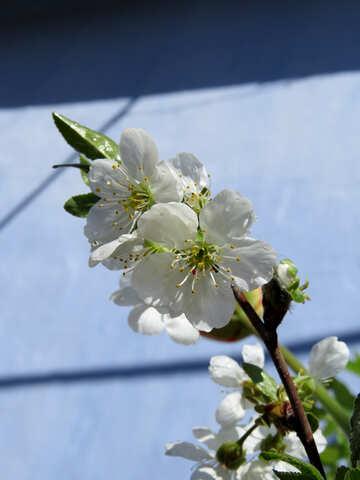 Fruit Flower №24031