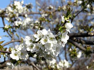 Albero di primavera №24492