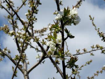 Albero in fiore №24452