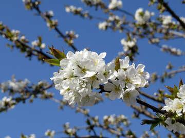 Albero in fiore №24479