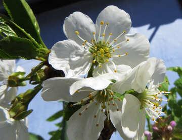 Tree flowers №24075