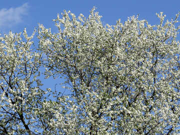 Flowering trees №24508
