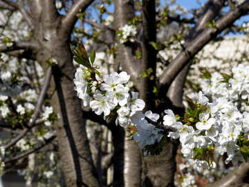 Fruit trees in the spring №24467