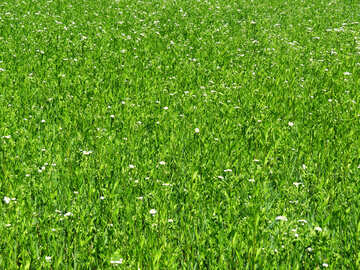 Green carpet grass №24994
