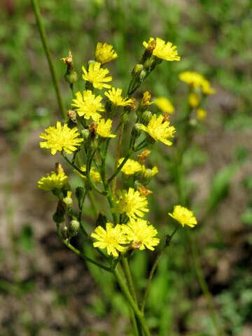 Yellow flowers №24930