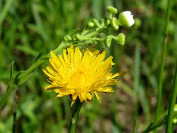 Yellow wildflower №24938