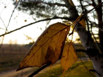 Autumn yellow leaf №24751