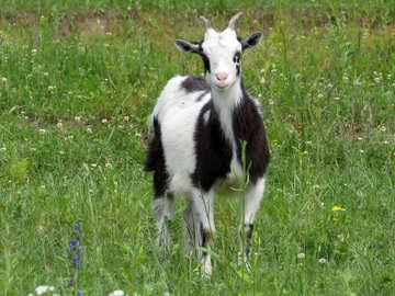 Dairy goat №24168
