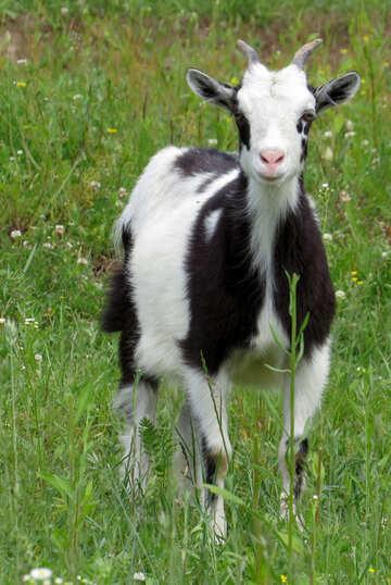 Goat №24167