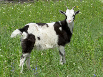 Goat №24171