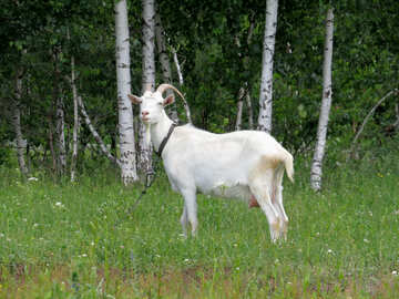 Goat grazing №24162