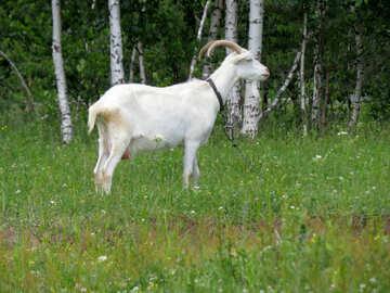 White goat №24164