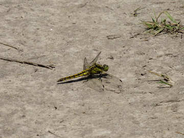 Dragonfly sitting on the ground №24976