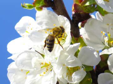 Biene sammelt Honig №24419
