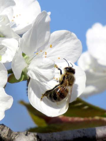 Bee in flower №24430
