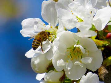 Bee on flowering tree №24459