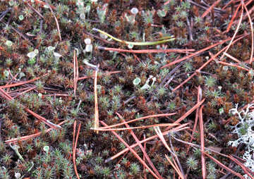 Forest moss №24855