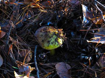 Edible green mushroom №24790