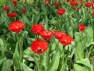 Tulips in the garden №24139