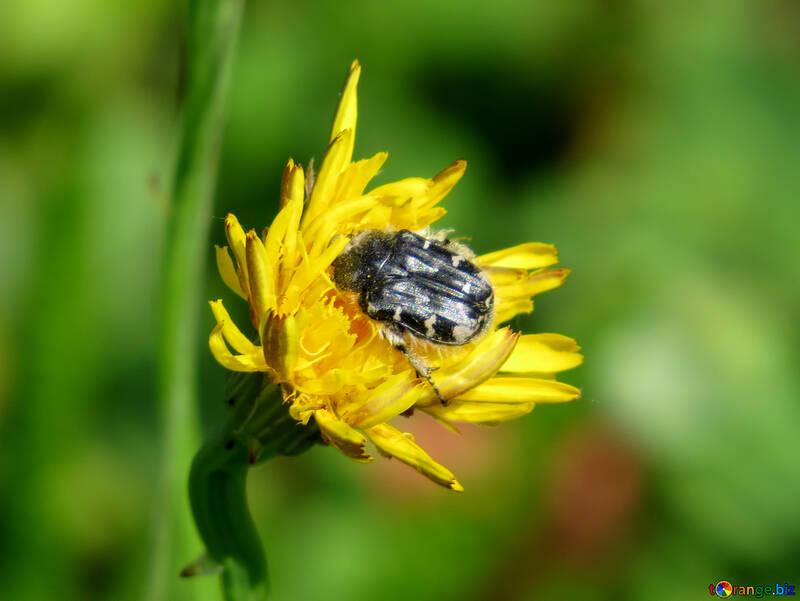 Käfer auf Blüte №24648