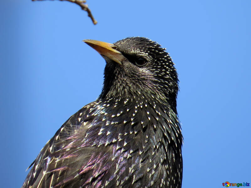 Portrait of starling №24379