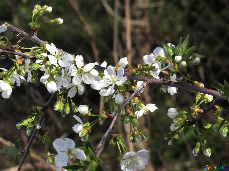 Цветущая ветка вишни №24026